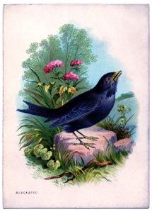 BlackBird-vintageimage-Graphics-Fairysm